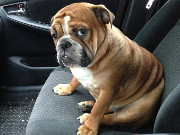 English bulldog funny face
